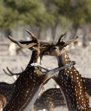 Axis deer on Sir Bani Yas Island, one of the largest natural islands in the UAE