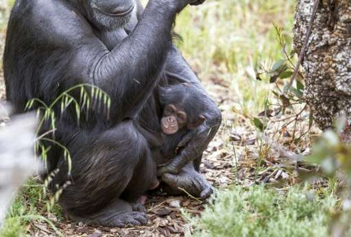 Baby chimp Boon - who was orphaned when his mother Soona died shortly after he was born on October 9, 2015 - clings to his new a