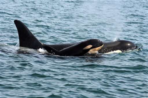Baby is born to endangered killer whale pod off Washington