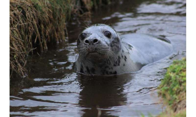 Baby seals that practice in pools make better divers