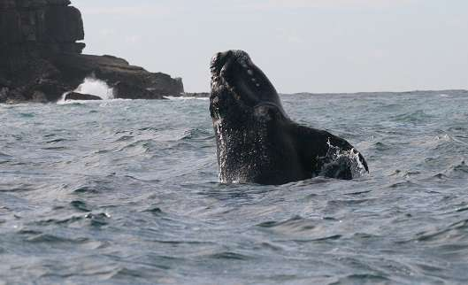Baby whales learn vital traditions from mothers