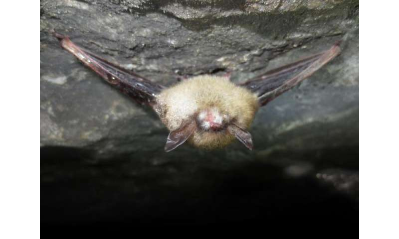Bacteria inhibit bat-killing fungus, could combat white-nose syndrome