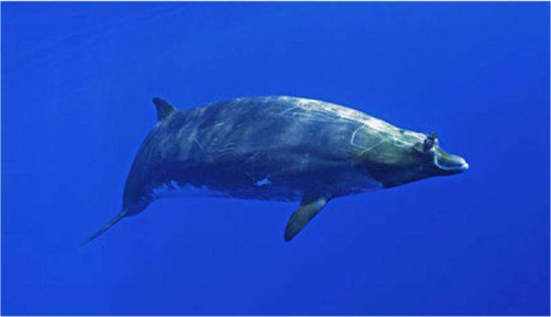 Beaked whales B-stroke for long dives