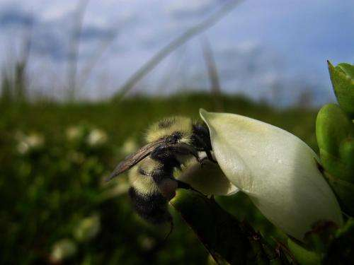 Bee disease reduced by nature's 'medicine cabinet,' Dartmouth-led study finds