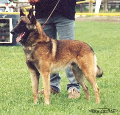 Belgian shepherd dogs seem to have genetic protection against diabetes