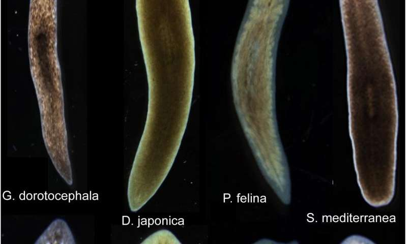 Biologists induce flatworms to grow heads and brains of other species