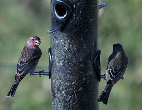 Birds that eat at feeders more likely to get sick, spread disease