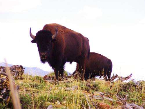 Bison are not livestock's top competitor for forage in Utah's Henry Mountains