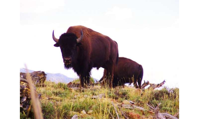 Bison of Utah's Henry Mountains New Stronghold for Conservation of Iconic Mammal
