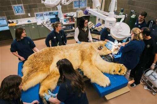 Boris the polar bear has three teeth pulled at Washington zoo