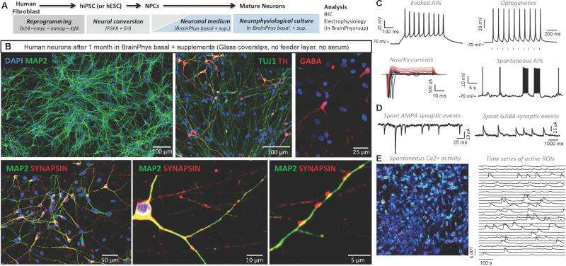 Brain in a bottle: A new culture medium for growing and testing neuronal cells in vitro