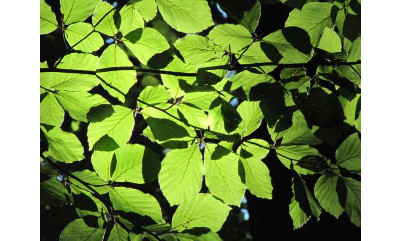 Broadleaf trees show reduced sensitivity to global warming
