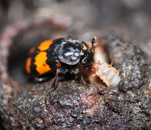 Burying beetles hatch survival plan to source food, study shows