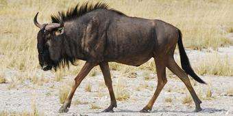 Call to citizen scientists to track wildebeests