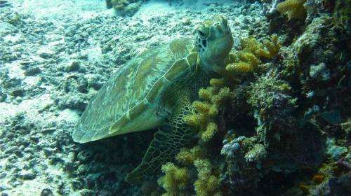 Camera-carrying turtles reveal seagrass decline