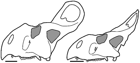 Can we easily distinguish male and female protoceratops?