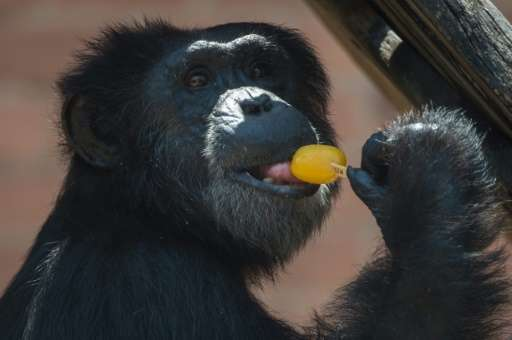 Captive chimpanzees were listed as endangered by the US Fish and Wildlife Service last year