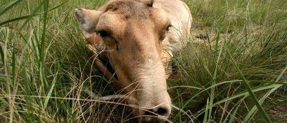Catastrophic mass die-off of saiga antelopes seen in central Kazakhstan