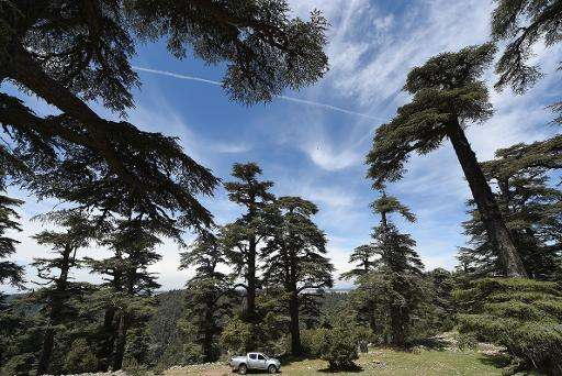 Cedar trees in the Cedrus Atlantica forest, which covers about 134,000 hectares of the North African country, near the central c
