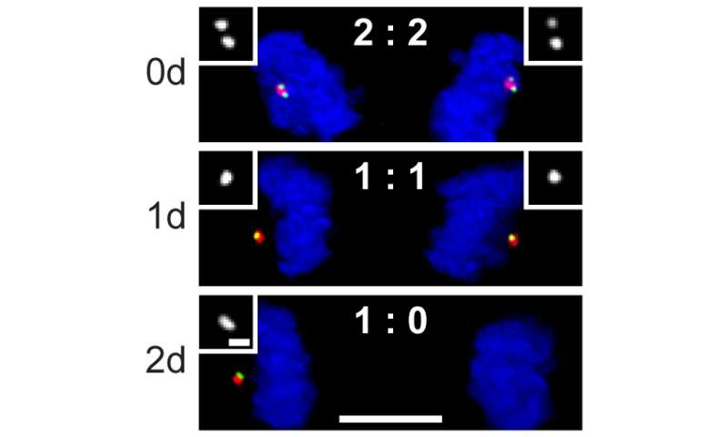 Cellular sentinel prevents cell division when the right machinery is not in place