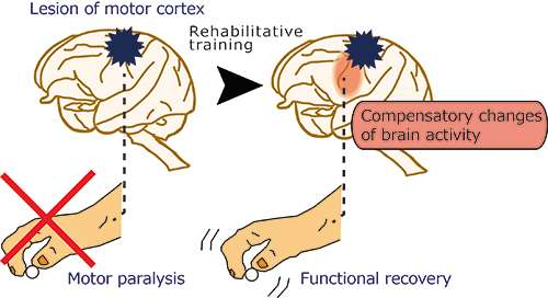 changes of brain activity that occur to take over motor functions rh phys org Cartoon Workers Metrics Cartoon