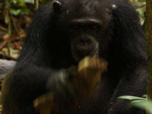 Chimpanzees select nut-cracking tools taking account of up to five different factors