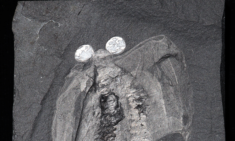 Clues contained in ancient brain point to the origin of heads in early animals