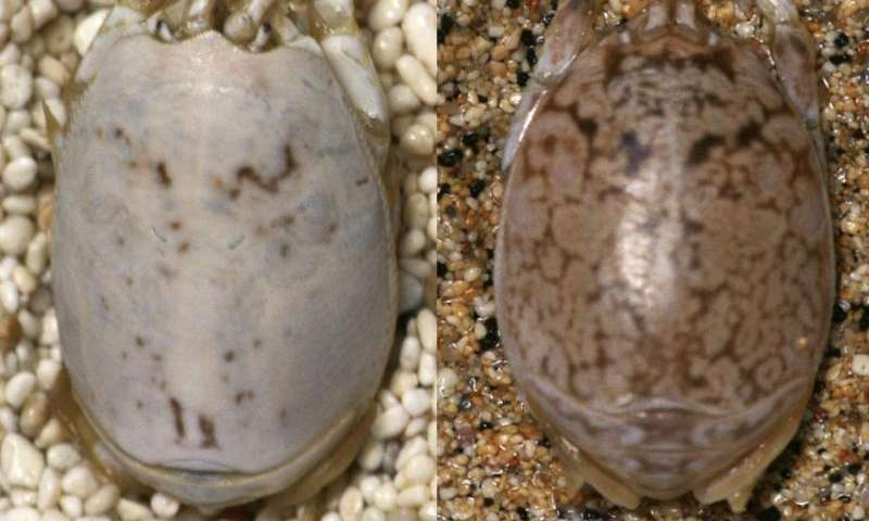 Color changing sand fleas flummox predatory birds