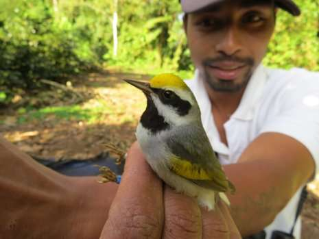 Connecting the dots with a golden-winged warbler