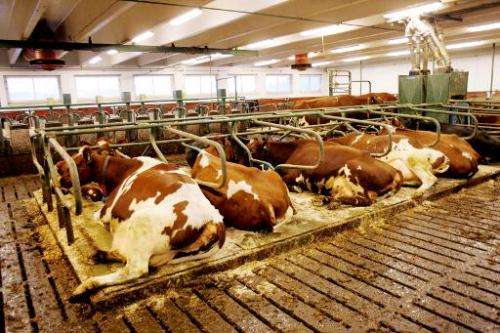 Cows are seen in a barn in southern Norway, on January 12, 2006