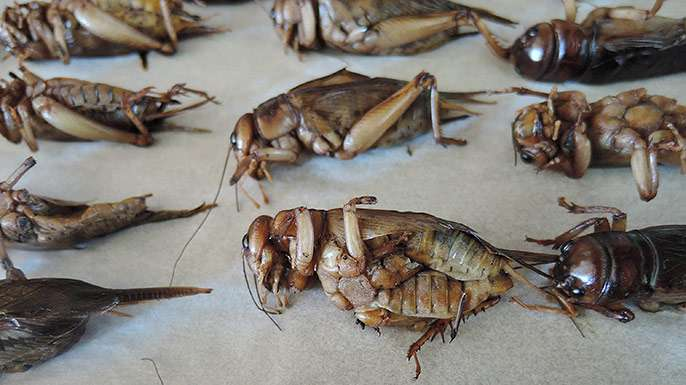Crickets aren't the miracle source of protein