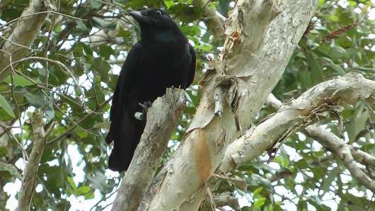Crows, like humans, store their tools when not in use