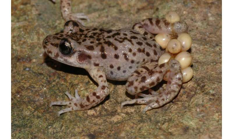 Cure for chytrid: Scientists discover method to eliminate killer fungus
