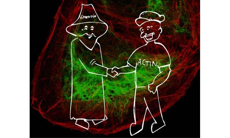 Cytoskeletons shaking hands