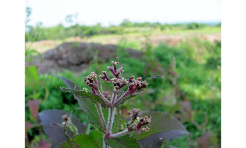 Dicamba drift affects non-target plants and pollinators