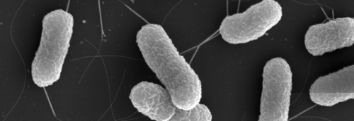 Discovery of a new mechanism used by pathogenic bacteria to disable host defenses