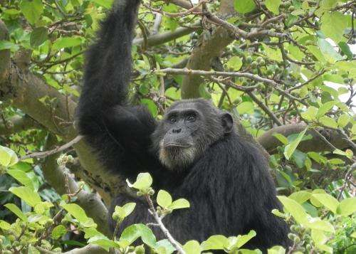 Disease poses risk to chimpanzee conservation, Gombe study finds