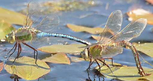 Dragonfly watch – find those fast and furious insects
