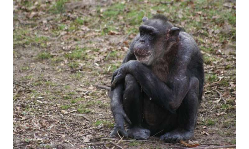 Early maternal loss has lifelong effects on chimpanzees
