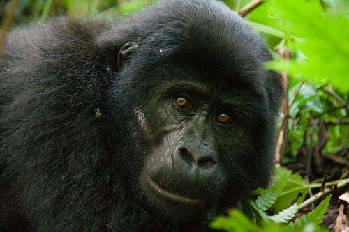 Ebola virus has wiped out a third of the population of chimps and gorillas