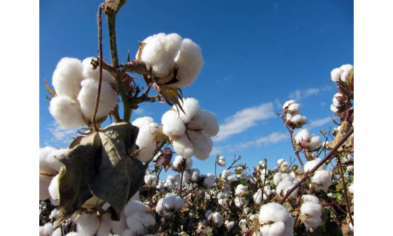 Efficient fungus paralyzes and kills pathogens that cause losses in cotton crops