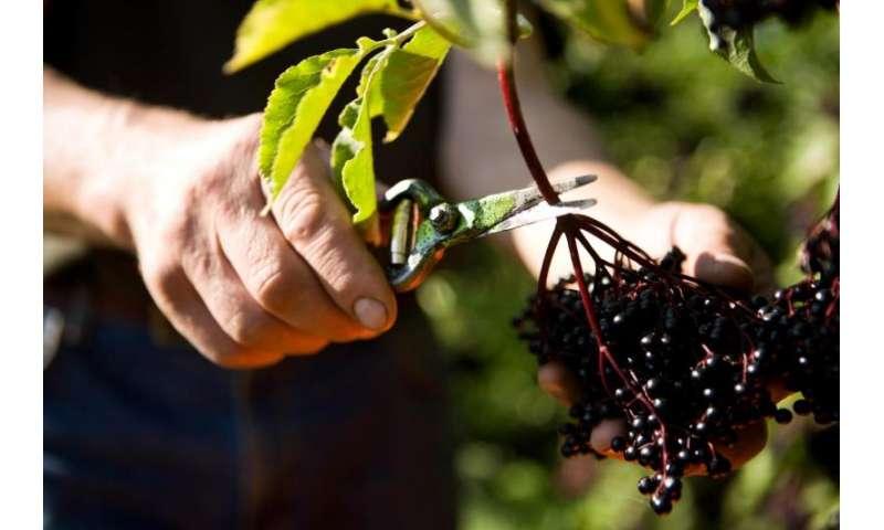 Elderberry benefits air travelers