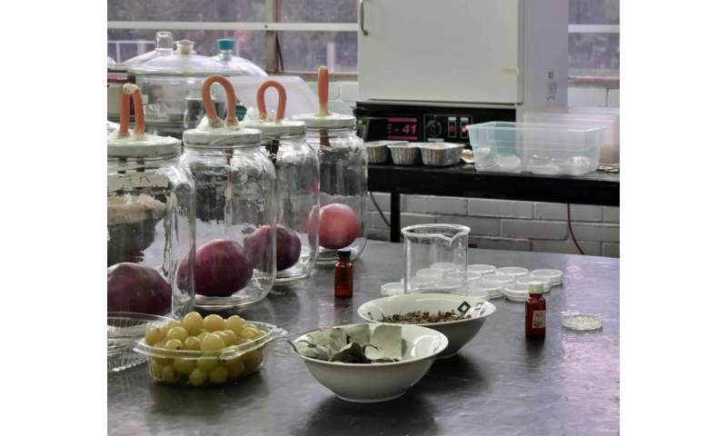 Eliminating fungi that attack produce with oregano and eucalyptus oil