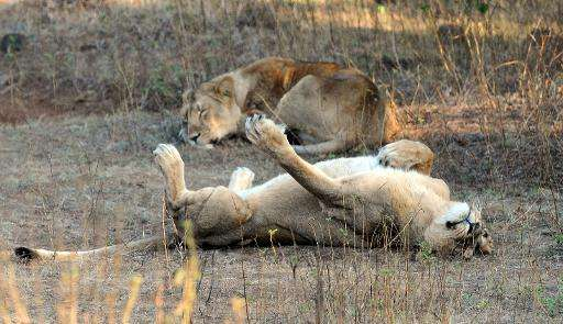 Endangered Asiatic Lions rest after a kill at the Gir Forest National Park and Wildlife Sanctuary in the western Indian state of
