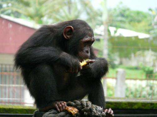 Endangered chimpanzees may experience drastic habitat loss within 5 years
