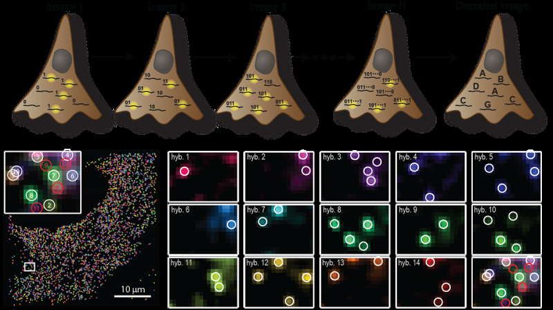 Error-correction strategy allows precise measurement of transcriptome in single cells