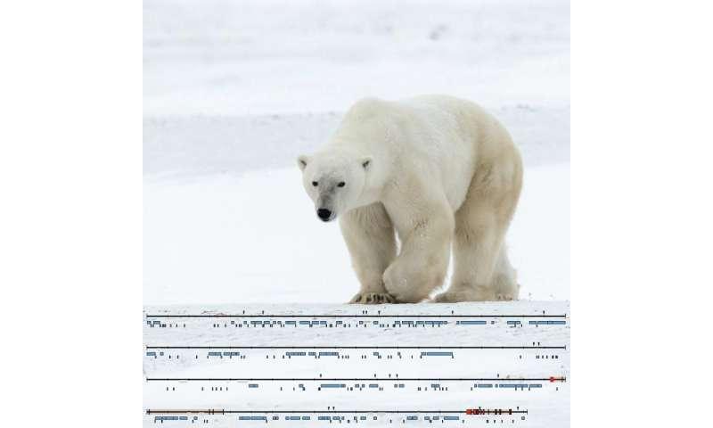 Essential parts of the polar bear Y chromosome decoded