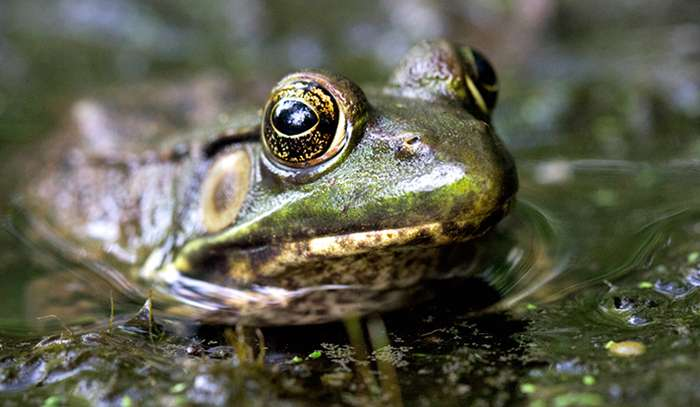 Estrogen, shrubbery, and the sex ratio of suburban frogs
