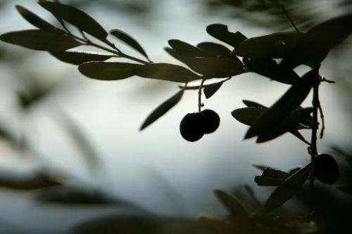 EU member states are divided on how to stop the spread of a disease affecting olive trees in Italy that could result in around a