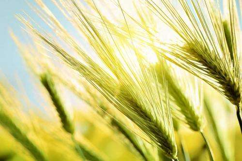 European grain yield stagnation related to climate change, says researcher